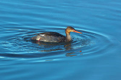 Royalty-Free and Rights-Managed Images - Red-breasted Merganser by Brian Knott Photography