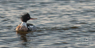 Photograph - Red Breasted Merganser by Dale Powell