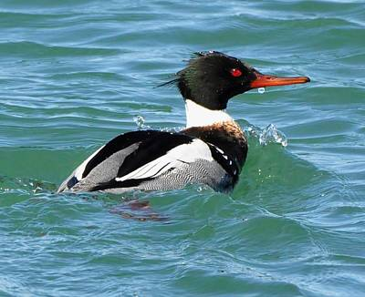 Digital Art - Red-breasted Merganser by Fred Zilch