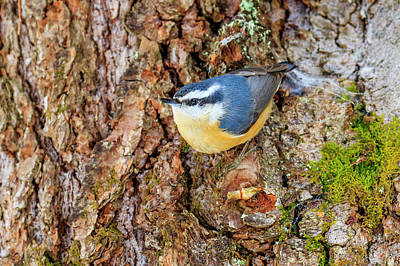 Photograph - Red-breasted Nuthatch 2 by Gary Hall