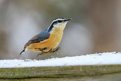 Photograph - Red-breasted Nuthatch by Gary Hall