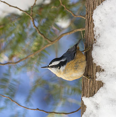 Eastern Red Cedar Wall Art - Photograph - Red-breasted Nuthatch by Julie DeRoche