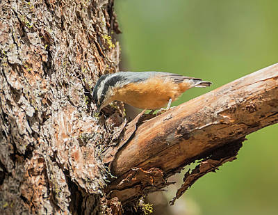 Photograph - Red-breasted Nuthatch by Loree Johnson