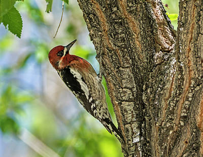 Photograph - Red-breasted Sapsucker by Loree Johnson