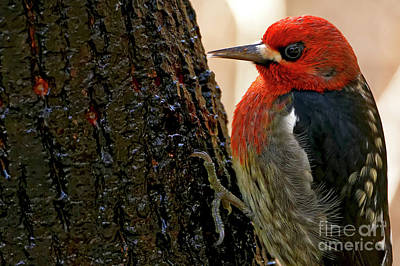 Photograph -  Red-breasted Sapsucker by Sue Harper