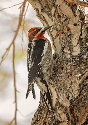Photograph - Red Breasted Sapsucker Working by Loree Johnson