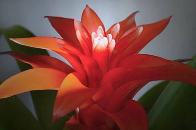 Red Bromeliad Bloom. Original by Terence Davis