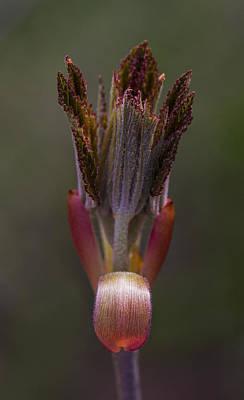 Photograph - Red Buckeye Leaves Emerging by Steven Schwartzman