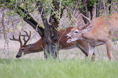 Photograph - Red Bucks 5 by Antonio Romero