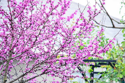 Photograph - Red Bud Tree by Teresa Blanton