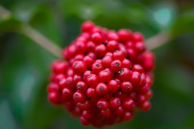 Photograph - Red Bunch by Leif Sohlman