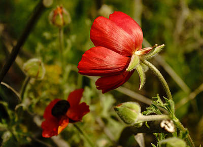 Photograph - Red Buttercup by Uri Baruch