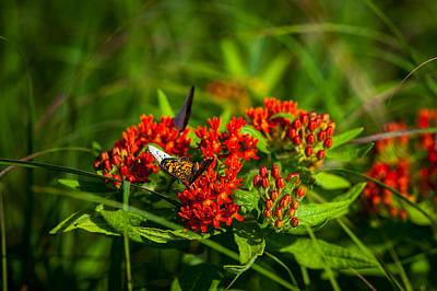 Photograph - Red Butterfly Milkweed by Jeff Phillippi