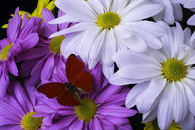 Chrysanthemums Photograph - Red Butterfly On Assorted Mums by Garry Gay