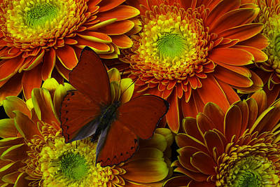 Gerbera Daisy Photograph - Red Butterfly On Bright Mums by Garry Gay