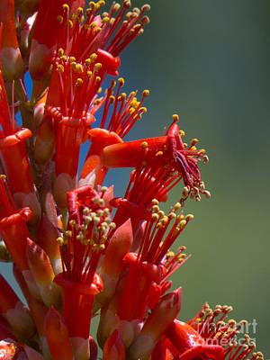 Red Cactus Flower 1 Art Print