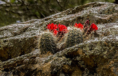 Photograph - Red Cactus Temptation by Jean Noren