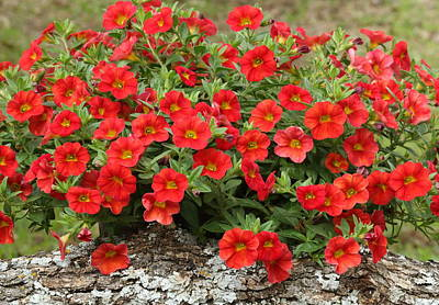 Photograph - Red Calibrachoa Flowers by Sheila Brown