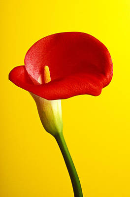 Red Calla Lilly  Art Print by Garry Gay
