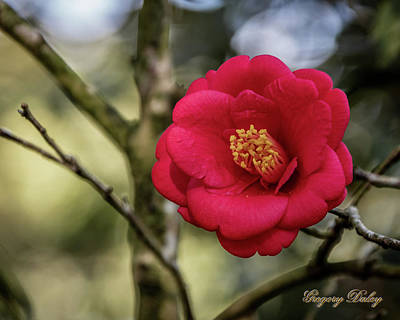 Photograph - Red Camelia 05 by Gregory Daley  PPSA