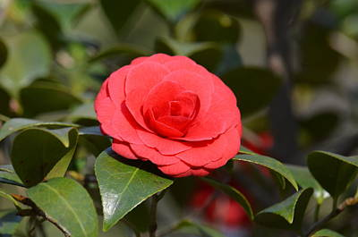 Photograph - Red Camelia 15-01 by Maria Urso