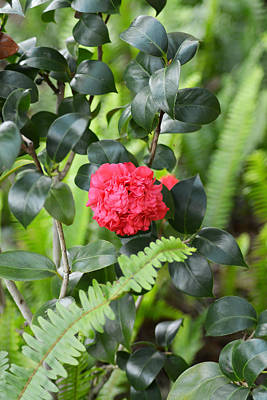 Red Camellia Art Print by Aimee L Maher Photography and Art Visit ALMGallerydotcom