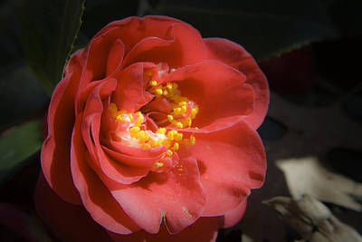 Camellia Photograph - Red Camellia Bloom by Teresa Mucha