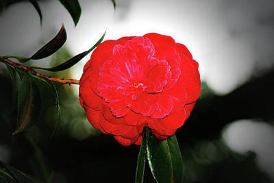 Camellia Photograph - Red Camellia by Douglas Barnard