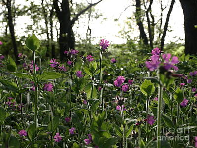Photograph - Red Campion by Richard Brookes