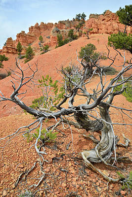 Photograph - Red Canyon Juniper by Ray Mathis