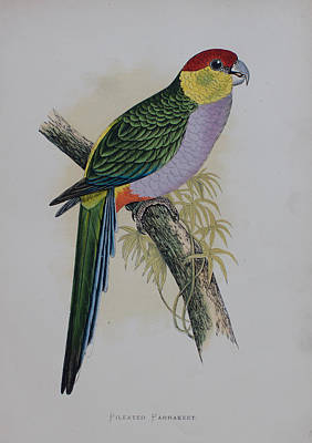 Parakeet Drawing - Red-capped Parakeet - 1884 by Greene's Parrots