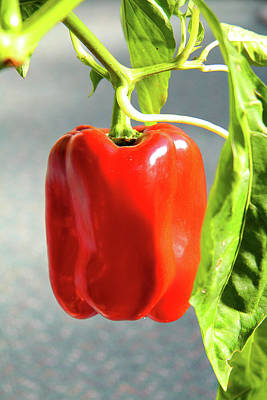 Photograph - Red Capsicum Pepper by Nareeta Martin