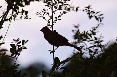 Photograph - Red Cardinal At Dusk by Warren Thompson