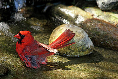 Photograph - Red Cardinal Bathing by Debbie Oppermann