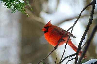Angels And Cherubs - Red Cardinal by Beth Collins