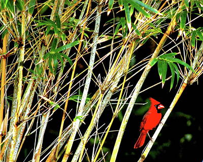 Photograph - Red Cardinal In Hawaiian Bamboo Forest  by Lehua Pekelo-Stearns
