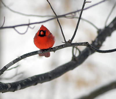 Photograph - Red Cardinal In Snow by Marie Hicks