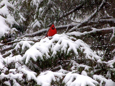 Photograph - Red Cardinal In The Snow by Kristen Fox
