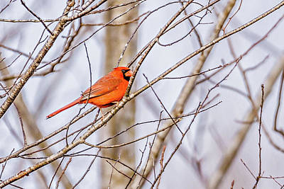 Thorn Tail Photograph - Red Cardinal Perched On Tree Branches In The Sun by Alex Grichenko