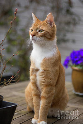 Photograph - Red Cat Alert by Patricia Hofmeester
