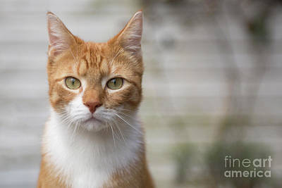 Photograph - Red Cat Looking At You by Patricia Hofmeester