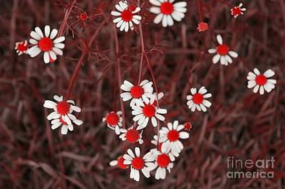 Photograph - Red Chamomile by Rachel Hannah