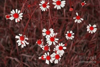 Digital Art - Red Chamomile by Rachel Hannah