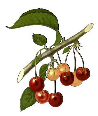 Digital Art - Red Cherries by Ericamaxine Price
