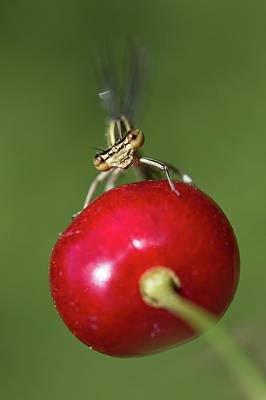 Photograph - Red Cherry by Jaroslaw Blaminsky