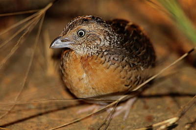 Red-chested Button-quail Art Print