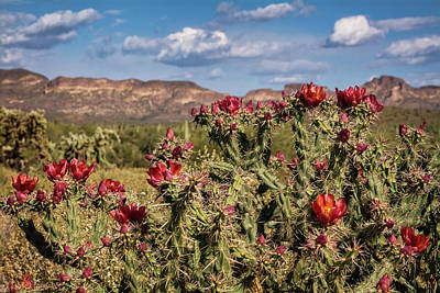 Photograph - Red Cholla Blooms  by Saija Lehtonen
