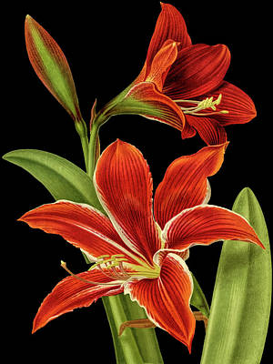Photograph - Red Christmas Lily by Tom Prendergast
