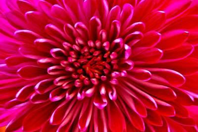 Red Chrysanthemum Art Print