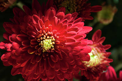 Photograph - Red Chrysanthemum by Ivete Basso Photography